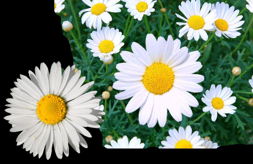 daisy-flower-1532449822
